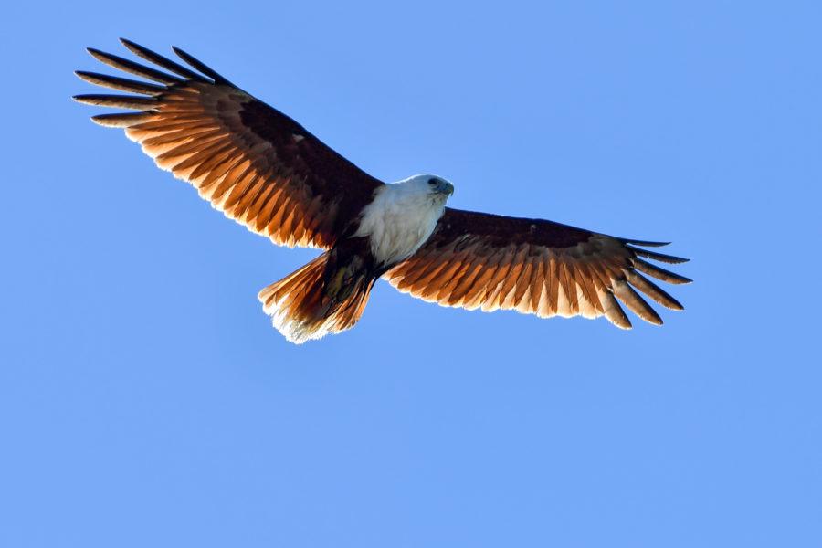 http://roadwarrior.productions/wp-content/uploads/2017/12/nature-brahminy-kite-flying-900x600.jpg